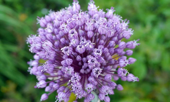 にんにくの花